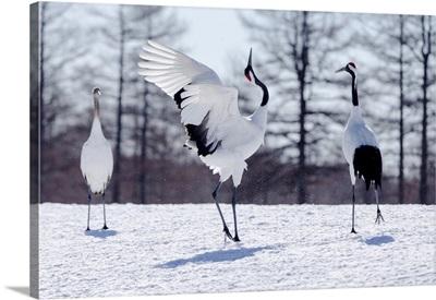 Asia, Japan, Hokkaido, Kushiro, Two Red-Crowned Cranes Practice Their Courtship Dance