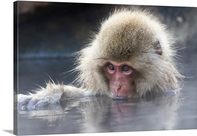 Asia, Japan, Nagano, Portrait Of A Juvenile Snow Monkey Soaking In The Thermal Pool