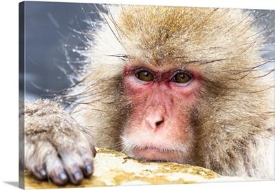 Asia, Japan, Nagano, Snow Monkey Park, Japanese Macaque, Headshot Of A Japanese Macaque