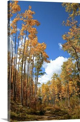 Aspen trees in fall, Santa Fe, New Mexico