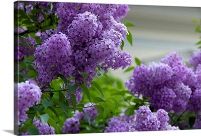 Austria, Salzburg Stadt, Salzburg, lilacs in bloom