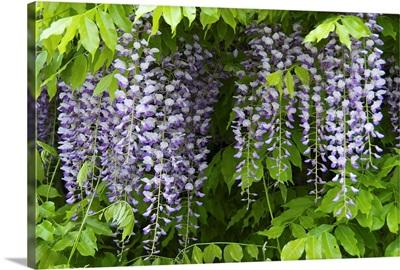Austria, Salzburg Stadt, Salzburg, wisteria in bloom