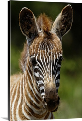 Baby Burchell's Zebra, Equus Burchellii, Lake Nakuru National Park, Kenya