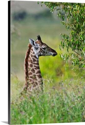 Baby Giraffe, Maasai Mara National Reserve, Kenya
