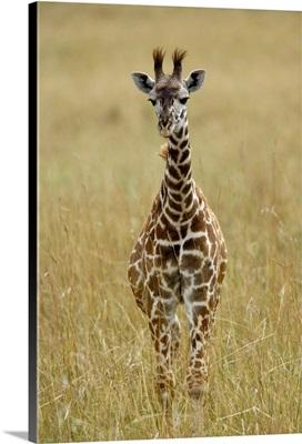 Baby Masai Giraffe, Giraffa Camelopardalis Tippelskirchi, Masai Mara Game Reserve, Kenya