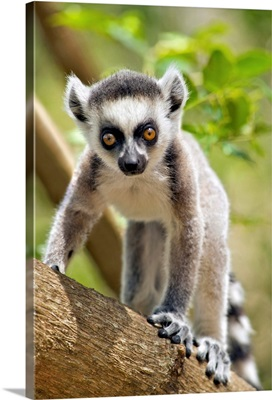 Baby Ring-Tailed Lemur, Anja Private Community Reserve, Ambalavao, Southern Madagascar