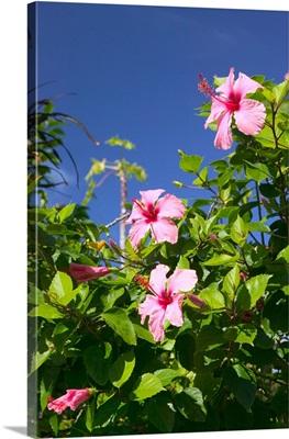 Bahamas, Abacos, Loyalist Cays, Man O'War Cay, Hibiscus Flower