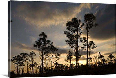Bahamas, Grand Bahama Island, Lucaya National Park, Caribbean Pine Trees