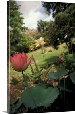 Barbados, Andromeda Botanical Gardens, Lotus Blossoms