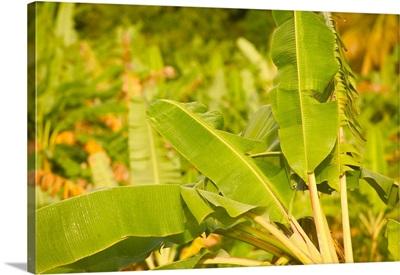 Barbados, St. Joseph Parish, Tropical Vegetation