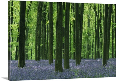 Beech Forest And Bluebells, Wiltshire, England, Uk