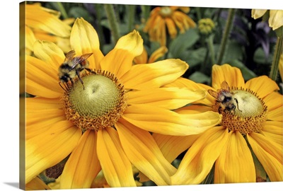 Bees on yellow flowers, Butchart Gardens, Victoria, British Columbia