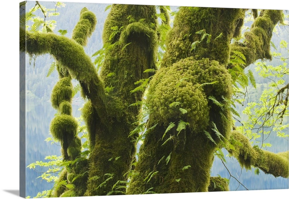 Bigleaf Maple Acer Macrophyllum Covered With Moss And Ferns Wall