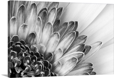 Black and white close-up of a flower showing petal detail