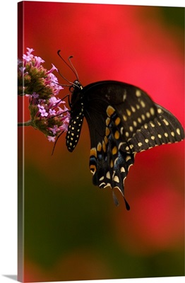 Black Swallowtail butterfly on Verbena, wings up