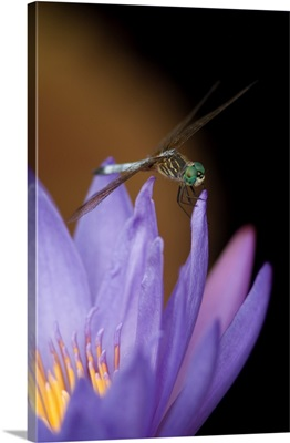 Blue dasher dragonfly on purple tropical water lily with yellow center