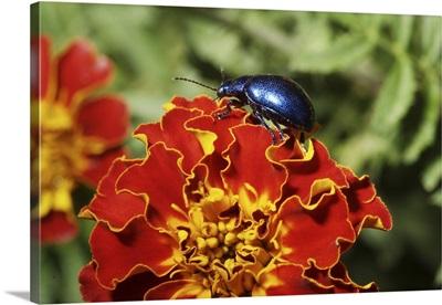 Blue Milkweed Beetle placed on flower
