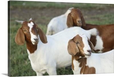 Boer goat, Bushnell, FL