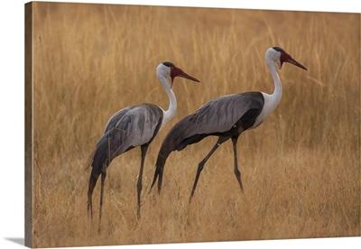 Botswana, Africa. A pair of Wattled Cranes walk in golden grass