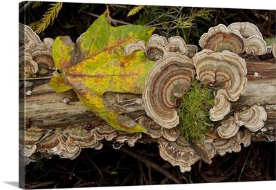 Bracket Fungus Trametes Versicolor On Log In Sechelt, British Columbia