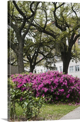 Brilliant azalea display in Old Town district with moss draped live oaks
