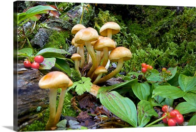 British Columbia, Bowron Lakes Provincial Park, Bunchberry and mushrooms