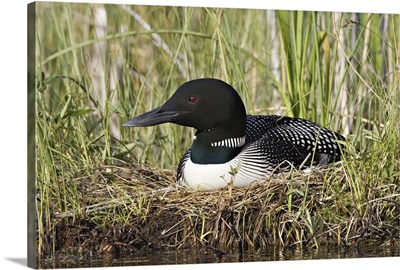 British Columbia, Lac Le Jeune, Common Loon on nest