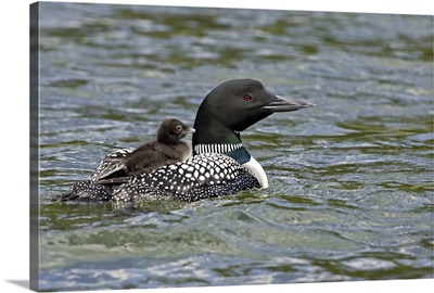 British Columbia, Lac Le Jeune, Common Loon swimming with chick on back