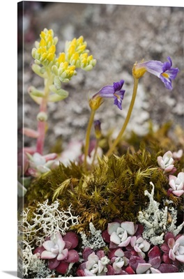Broad-leafed stonecrop ground cover and naked broomrape flowers in a woodland