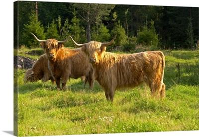 Bull Hairy Highland Longhorn Cattle. Brown Smaland Region. Sweden, Europe
