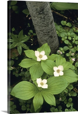 Bunchberry, Dogwood, Tatshenshini River, British Columbia, Canada