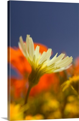 CA, Lancaster, Antelope Valley, CA Poppies and Desert Dandelion Spring bloom