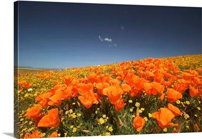 CA, Lancaster, Antelope Valley, CA Poppies spring bloom