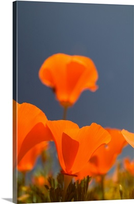 CA, Lancaster, Antelope Valley, CA Poppies spring bloom