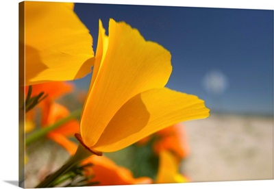 CA, Lancaster, CA Poppies spring bloom