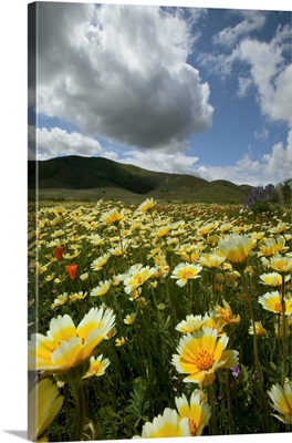 CA, San Luis Obispo Co, Lone Oak and Spring Wildflowers