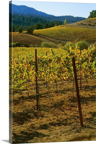 California, Anderson Valley, wine country, fall color in a vineyard ...