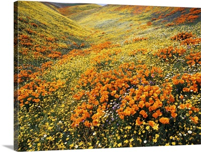 California, Antelope Valley, View of California golden poppies on hill