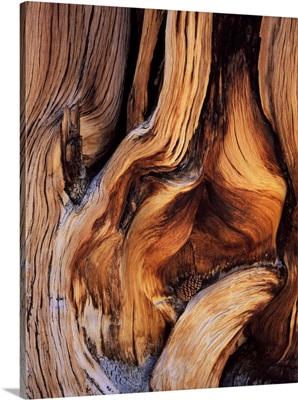 California. Bristlecone pine cone and contorted trunk of ancient bristlecone pine