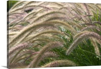 California, Napa Valley, Yountville: Autumn Reeds