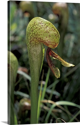 California pitcher plant
