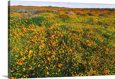 California Poppies And Goldfield, Antelope Valley, California, USA