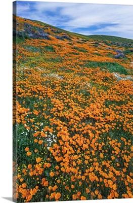 California Poppies, Antelope Valley, California, USA
