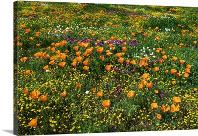 California Poppies Owl's Clover And Goldfield, Antelope Valley, California, USA