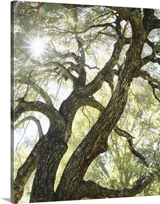 California, sunlight streams through a live oak tree in Cuyamaca Rancho State Park