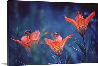 Canada, Alberta, Jasper National Park. Wood lilies at dusk