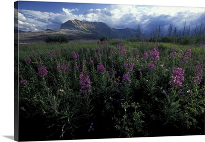 Canada, Alberta, Waterton Lakes National Park, Fireweed flowers