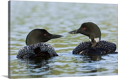Canada, BC, Lac Le Jeune. Common Loon pair with chicks on their backs
