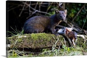 Canada British Columbia American Marten Eating Salmon