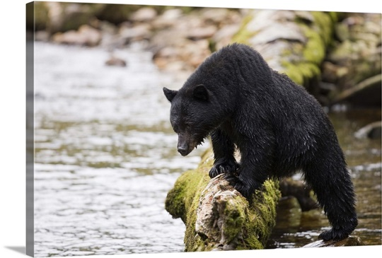 Canada, British Columbia. Black Bear Wall Art, Canvas Prints, Framed ...